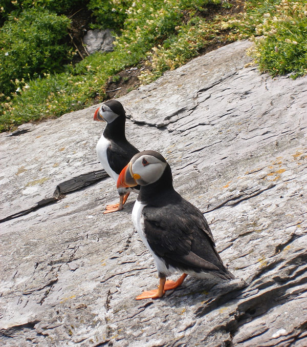 Puffins on the Skelligs