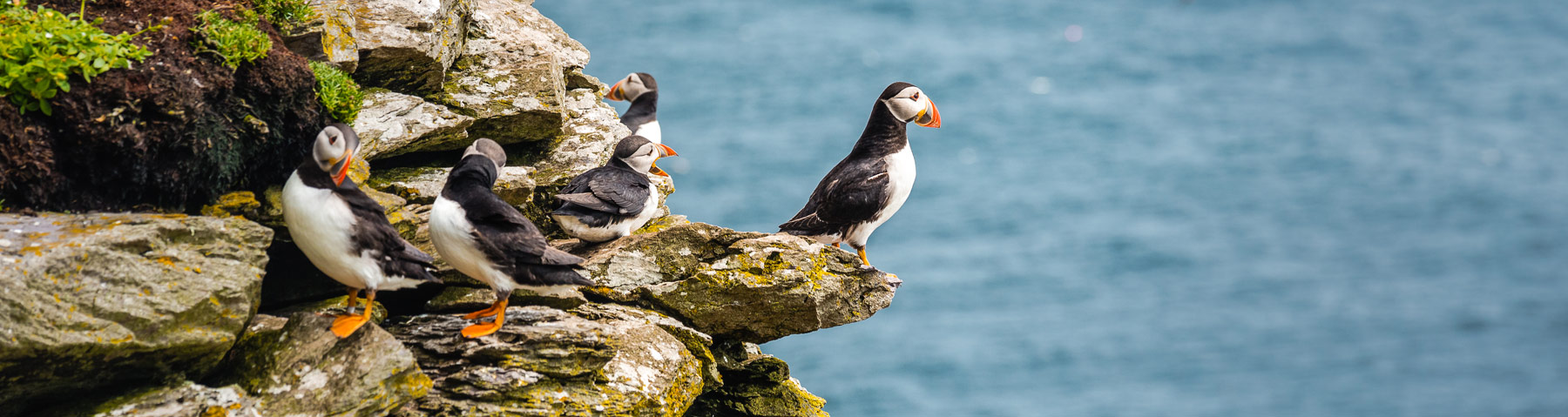 Puffins on Skellig Michael
